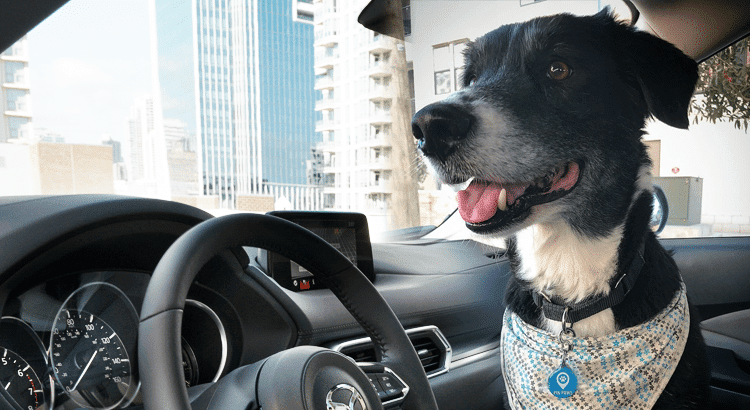 Black and white dog sit in a car with a Pin Paws dynamic dog tag on his collar and a bandana around his neck