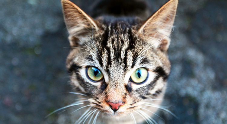 Brown with black stripes cats face with green eyes, a pink nose and white whiskers