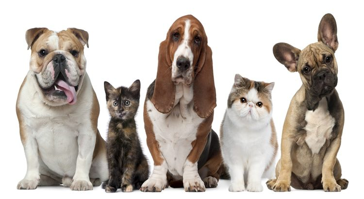 Collection of pups and cats sitting in a line with a white background and looking forward at the camera