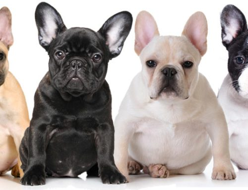 Breed Information About French Bulldogs