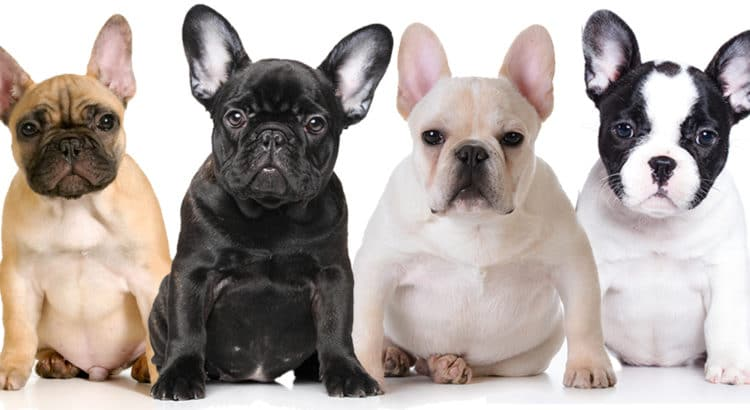 Tan, Black, White and Multi-colored French Bulldog sitting for a picture looking forward at the camera