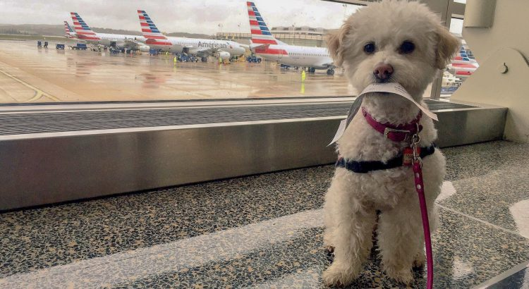Fluffy white dog holding boarding pass in its mouth with American Airline planes in the background
