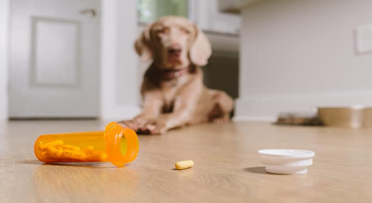 Dog laying on a hardwood floor in the house with an open medicine bottle and Tylenol pill on the floor