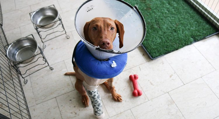 Large brown dog with cone on head and neck and cast on right leg