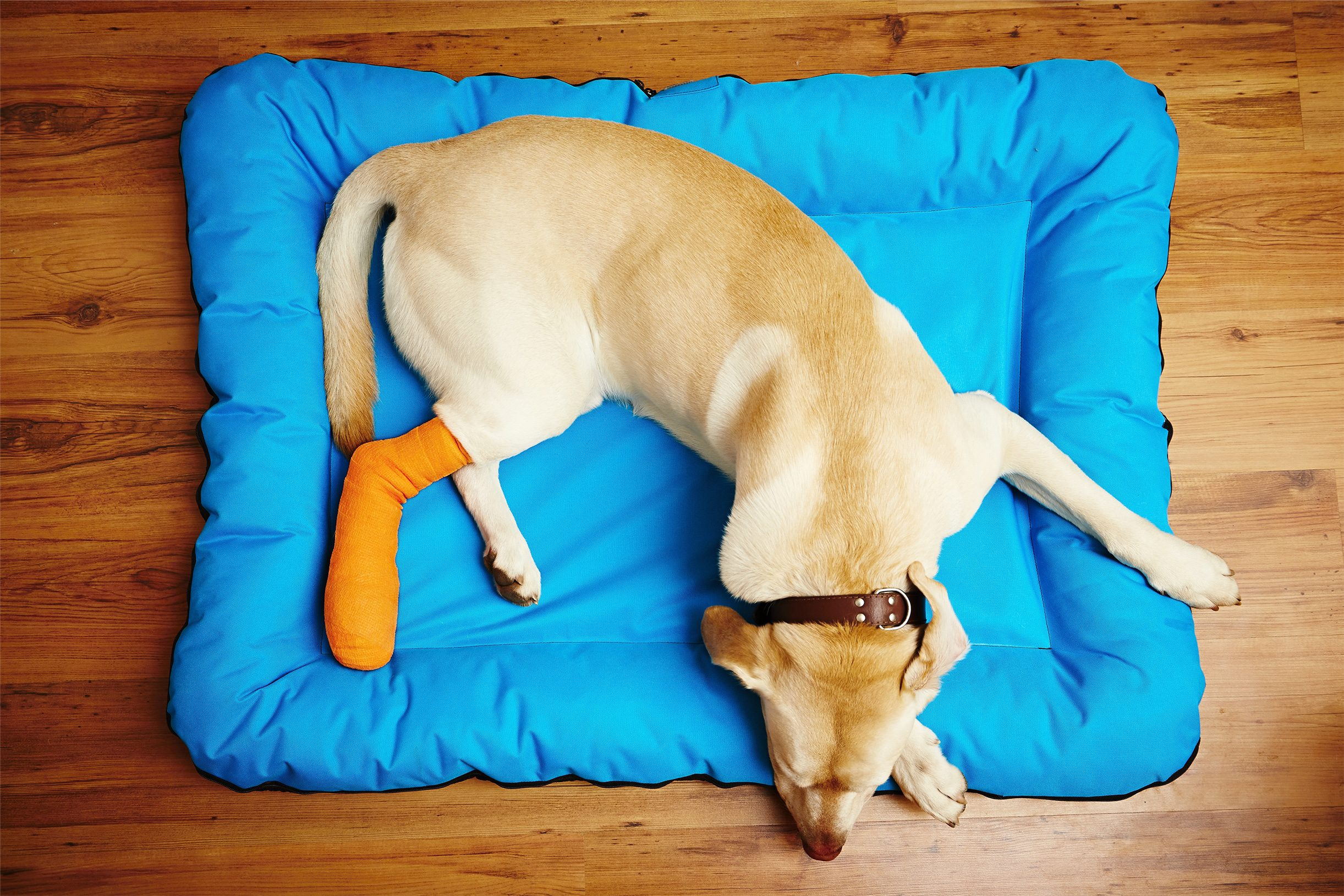Yellow lab laying in a blue dog bed with orange cast on right back let and foot