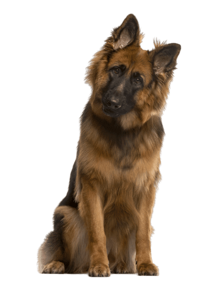 German Shepard standing and looking forward at the camera