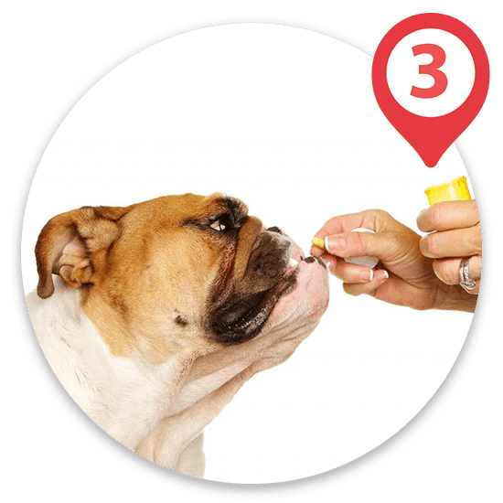 Bulldog taking yellow pill orally from owner